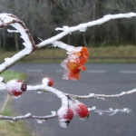 frosted_rosehips