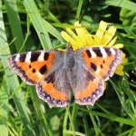 kennelfield_smalltortoiseshell